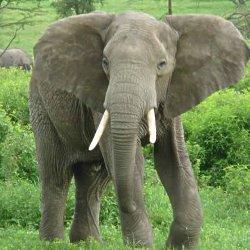 Слоны соображают не хуже людей