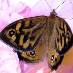 Бабочки предупреждают о перемене климата