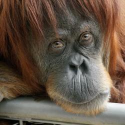 Приматы тоже переживают кризис среднего возраста