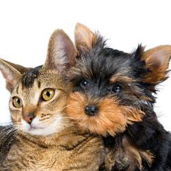 Смертельные заболевания нового поколения: угроза от собак и кошек