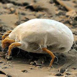 Пылевые клещи – можно ли их победить?