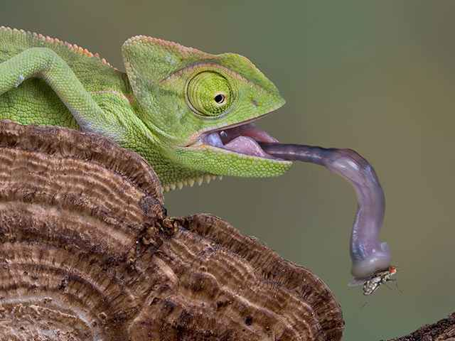 Хамелеон,изменение,цвет,красочные,существо,глаза,грин,ящерица,домашнее живо