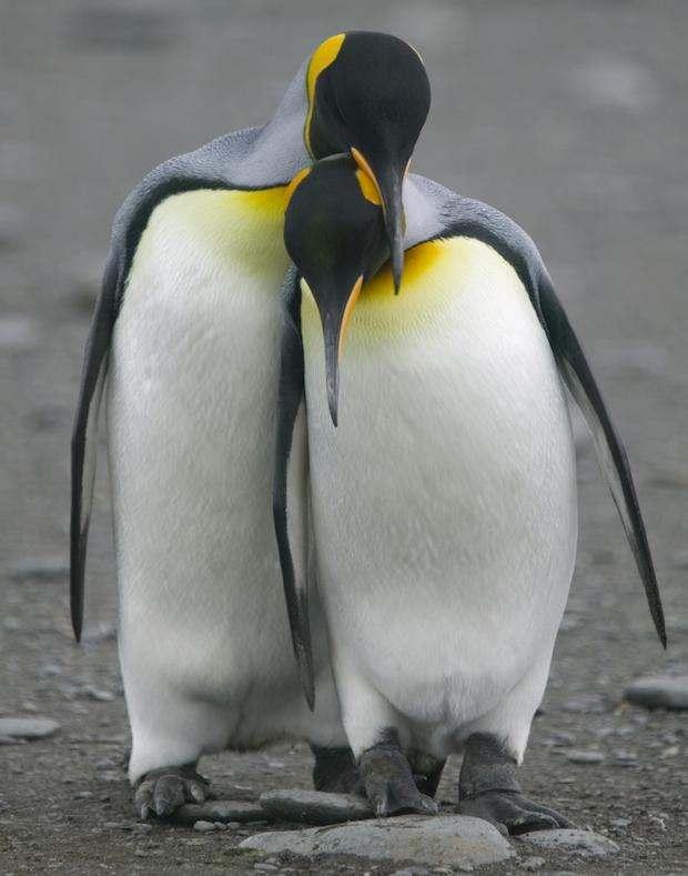 Любовный треугольник пингвинов, закончившийся дракой, всполошил Интернет