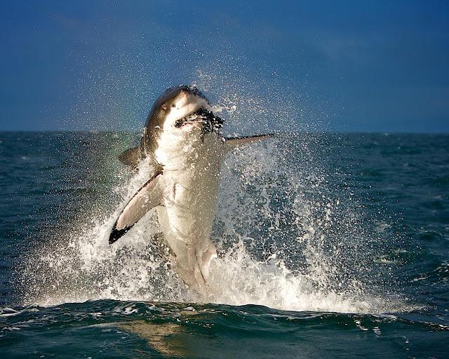 акул в высоком качестве