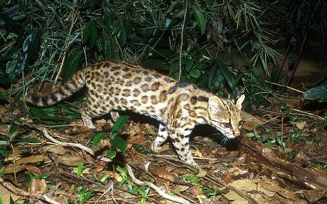 Новый вид кошки обнаружен в Бразилии