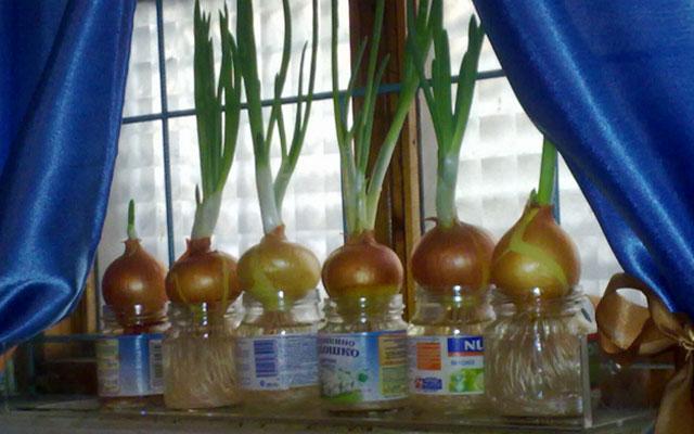 Индюки Биг 6: выращивание в домашних условиях