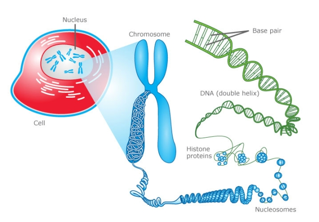 an introduction to the analysis of chromosomes Primer on molecular genetics date published: chromosomes an analysis called a karyotype a few types of major.