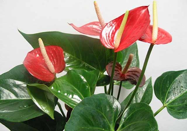 Как называется цветок с красным цветком и большими листьями