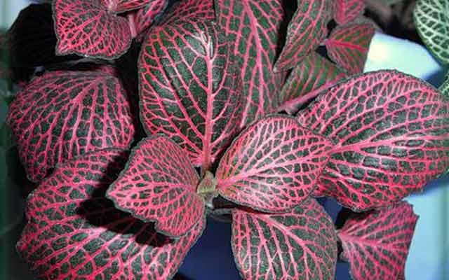 Цветок зеленый с красными прожилками фото