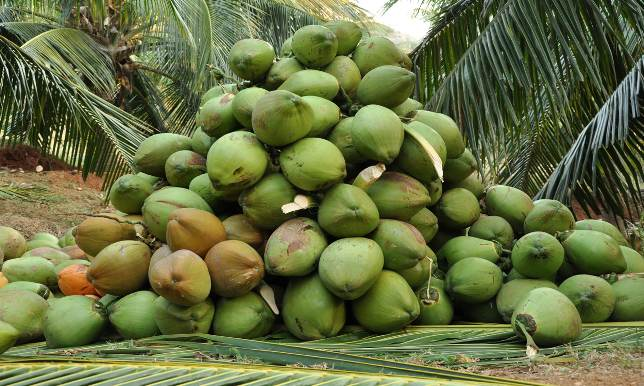 Coconut-cultivation.jpg