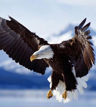 Скачать бесплатно картинку на телефон Животные, Орлы, Птицы.