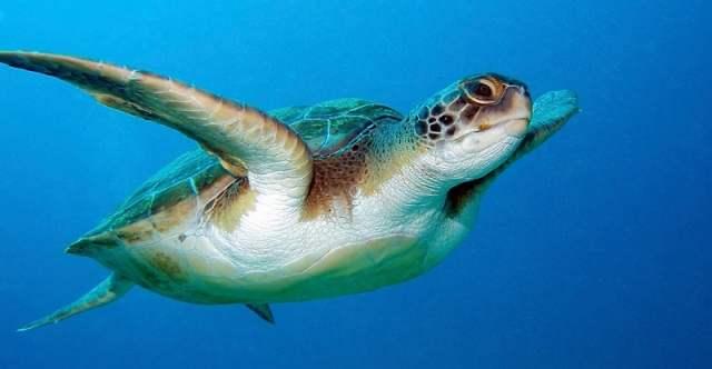 Горло морской черепахи