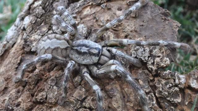 На Шри-Ланке обнаружили паука размером с человеческое лицо