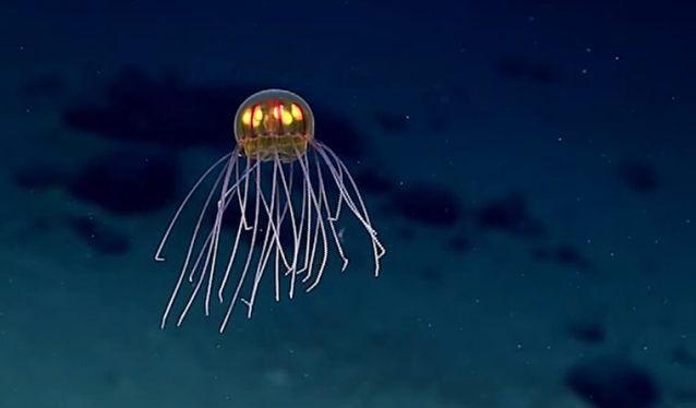 """В Марианской впадине обнаружили """"инопланетную"""" медузу"""