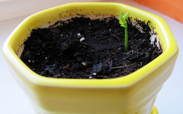Выращивание лимона почва 55