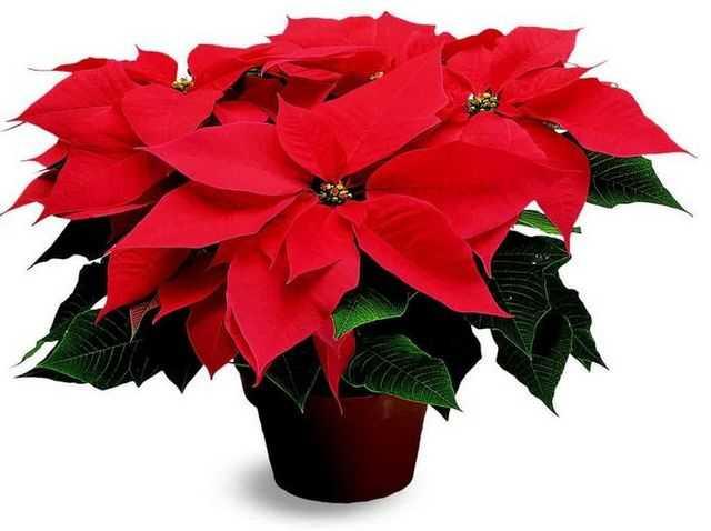Рождественский цветок — Пуансеттия