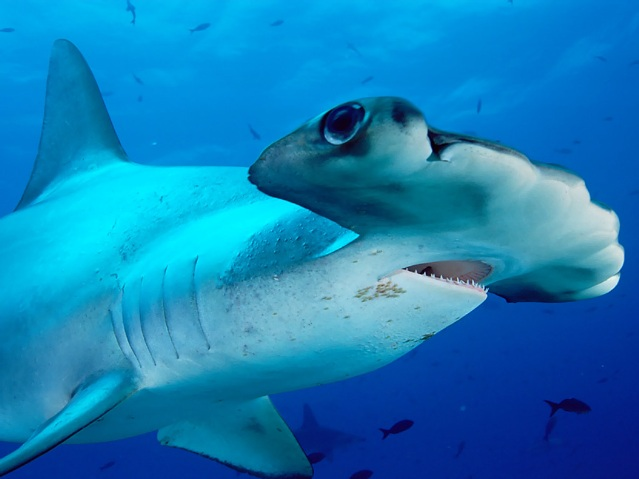 3. Молотоголовая акула.