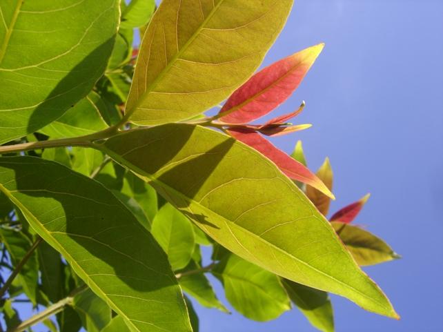На эвкалиптовых деревьях растет золото