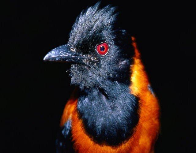 Уникальные ядовитые птицы