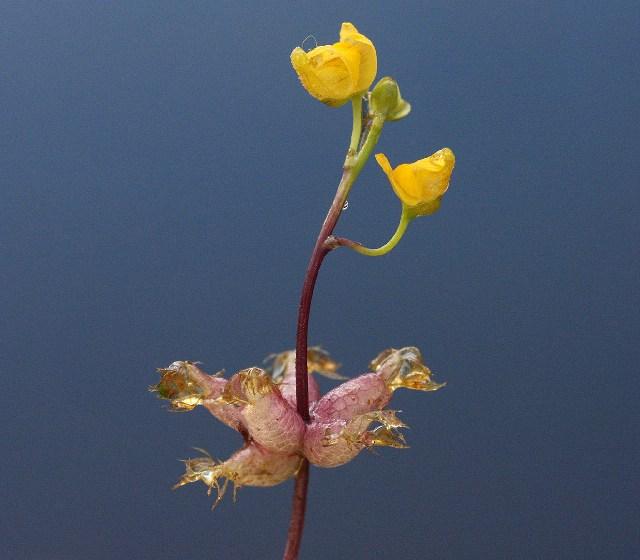 Цветок который ест насекомых
