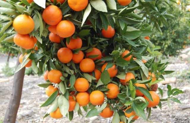 mandarinw2.jpg