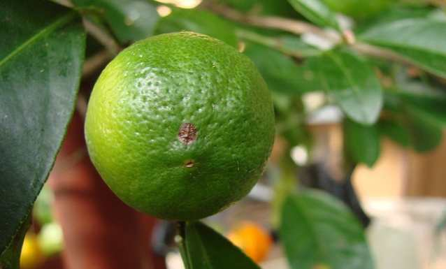 fructi-apelisini-5.jpg