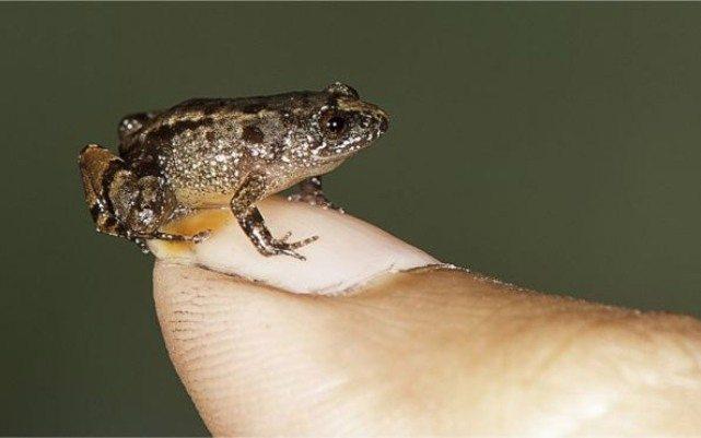 Обнаружены удивительные микро лягушки размером с M&M'S